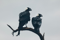 Pair of thick-billed ravens in the Simien Mountains National Park, Ethiopia
